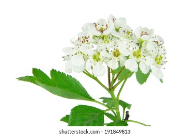 close up of hawthorn blossom isolated on white background