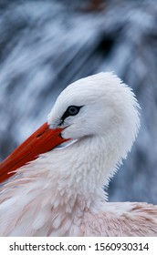 Close up of the head and beak of a White Stork, the shape of the beak and head echoed in the background snow covered foliage