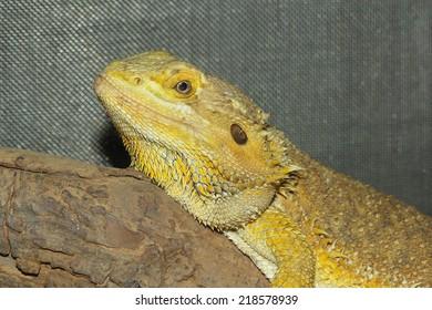 close up head bearded dragons  lizard