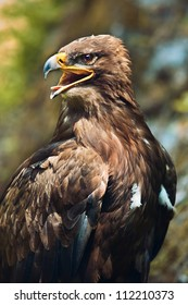 Close up of the head of a beautiful eagle, crossing of steppe and golden eagle with emphasis on the eagles eye.