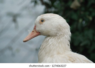 Close up head of beautiful white wild duck (Anas, Anseriformes, Mallard) waterbird. Portrait with eye and orange bill, creamy beige plumage. Kleptuza lake Velingrad, Bulgaria. Natural scene, wildlife.