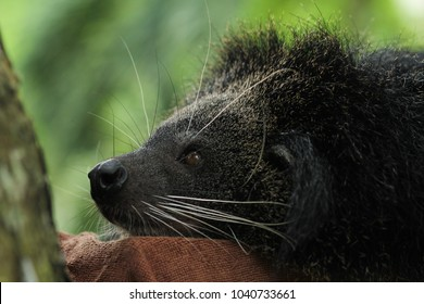 close up to head of Binturong, Bearcat
