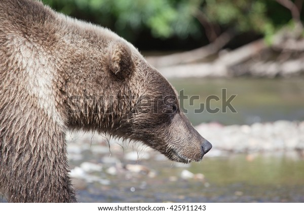 close-head-brown-bear-grizzly-600w-42591