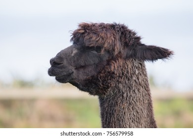 close up head of brown ,black fur alpaca with blur background