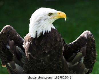 A close up of the head of a captive Bald Eagle.