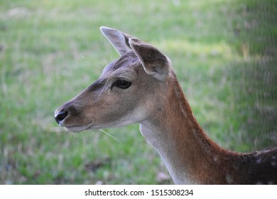 Close up of head of a cute deer. Deer are the hoofed ruminant mammals forming the family Cervidae.