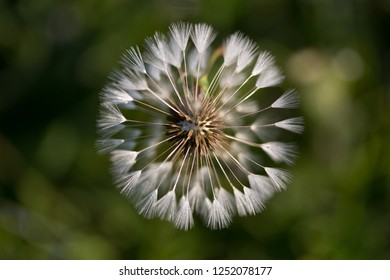 Close up of the head of a dandelion .