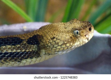 Close up of the head of a deadly eastern timber rattlesnake as it slithers by