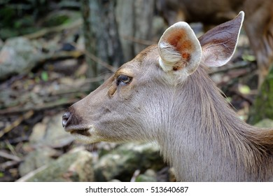 close up head of deer in open zoo, Thailand, Morning sun.