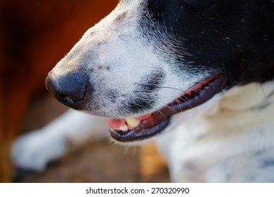 close up to The head of dog, eyes, mouth, nose, the black and white dalmatian dog 's head  no purebred laying on the floor.