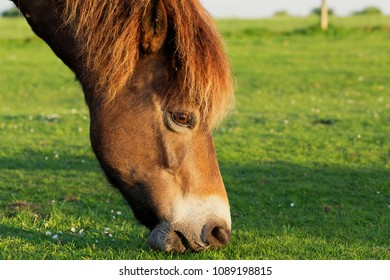 Close up of a pony�s head, eating grass on a suny day with a blurred grass background and space for text.