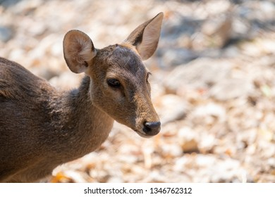 Close up head and face of female Eld's Deer or brow- antlered deer with blurred field background in the morning.