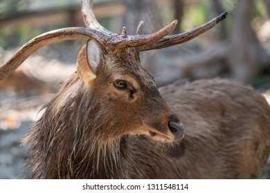 Close up head, face and horns of an Eld's Deer or brow- antlered deer with blurred filed background.