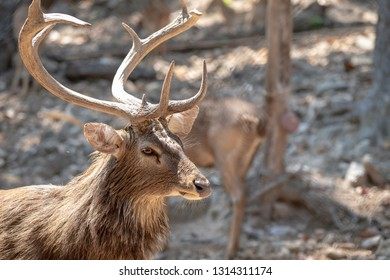 Close up head, face and horns of an Eld's Deer or brow- antlered deer with blurred filed background in the morming.