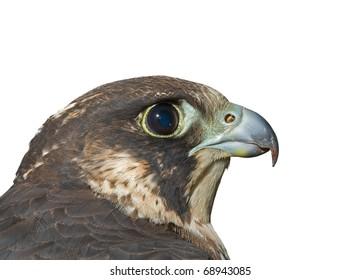A close up of the head of falcon (Falco subbuteo). Profile. Isolated on white.