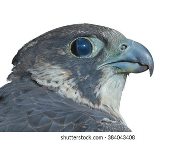 A close up of the head of falcon (Peregrine Falcon). Isolated on white.