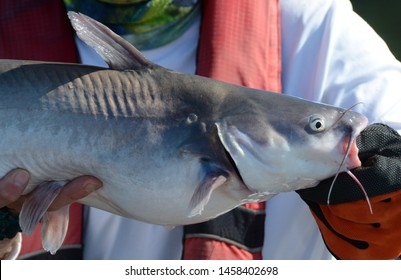 A close up of the head and front half of a medium size silver white blue catfish fish being held horizontally by a in a gloved hand on a sunny day
