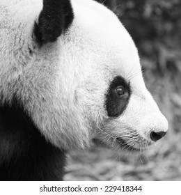 Close up of the head of a giant panda