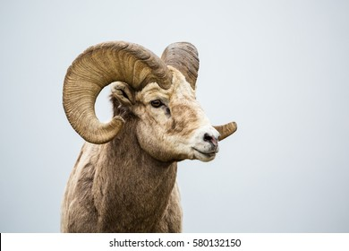 Close up of head and horns of a wild big horned sheep in Southern Canada. Background is a neutral grey fog over a lake.