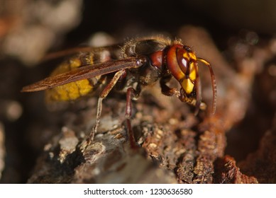 Close up of the head and jaws or European hornet worker (Vespa crabro) constructing a hornet's nest