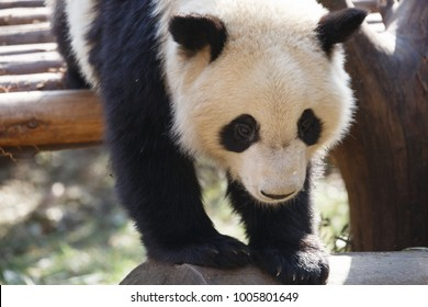 A close up of the head of a lovely panda