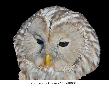 A close up of the head of owl (Strix uralensis). Isolated on black.