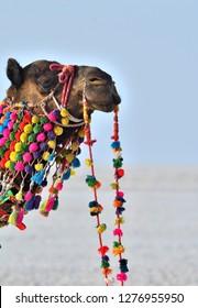 close up head portion of Decorated camel in Rann Utsav at White Rann, Kutch, Gujarat, India