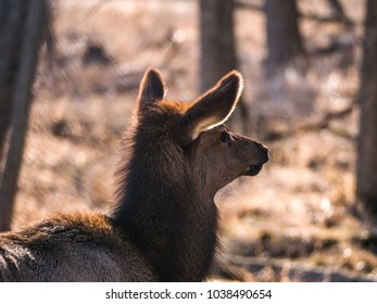 Close up head shot of an adult female elk deer with brown fur in the Busse Forest Preserve elk pasture with tall yellow grasses and trees in background in Elk Grove Village in Illinois.