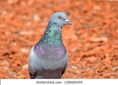 Close up head shot of beautiful speed racing pigeon bird