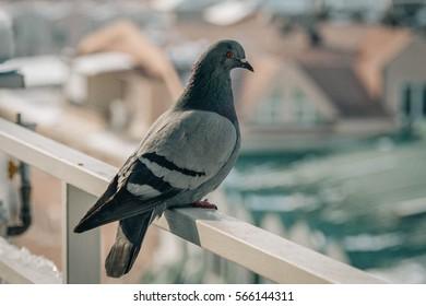 Close up head shot of beautiful speed racing pigeon bird