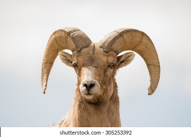 Close up head shot of a big horn sheep ram; looking at photographer