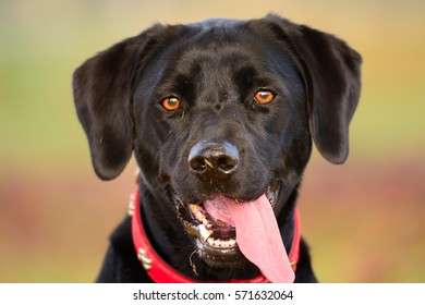 close up head shot of a cute black labrador with a red collar