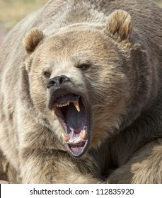 Close up head shot of grizzly bear with mouth open