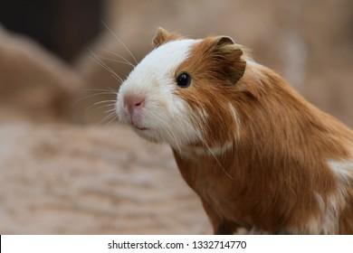 Close up head shot of a guinea pig