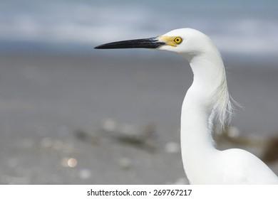 Close up head shot of an little white egret.
