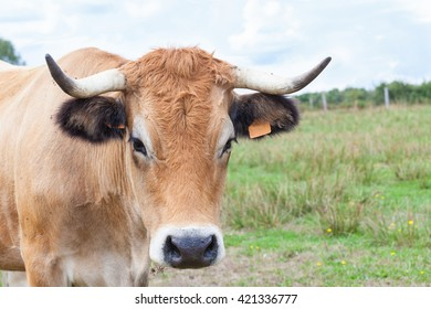 Close up head shot of a pretty Aubrac cow looking at the camera  in a summer pasture, a French beef breed used for suckling