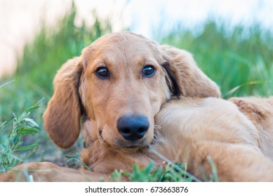 Close up head shot of a puppy Golden Doodle laying down in the grass