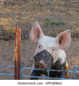 Close up head shot of sad, serious single dirty young domestic pink pig with muddy face and big ears