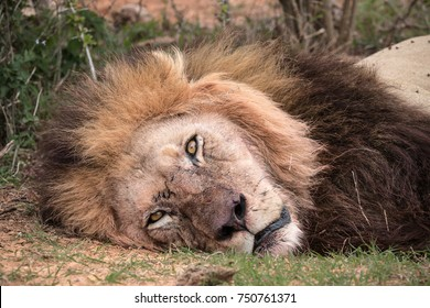 Close up head shot of a scarred single adult male lion (Panthera leo) lying down in the bush veld in the Addo Elephant National Park, South Africa