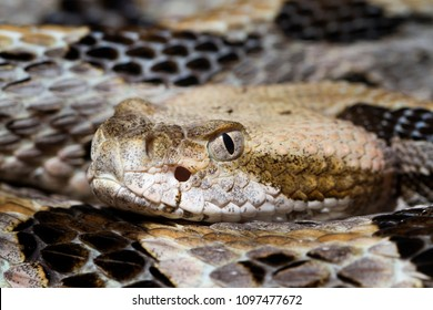Close up Head Shot of a Venomous Timber Rattlesnake (Crotalus horridus)