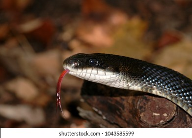 A close head shot of a western rat snake from western Missouri.