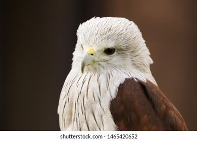Close up head and shoulders portrait of a Brahminy Kite (haliastur indus) bird of prey isolated against a black background
