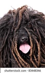 Close up head study of a Puli dog