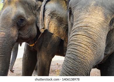Close up head of Vietnam elephant