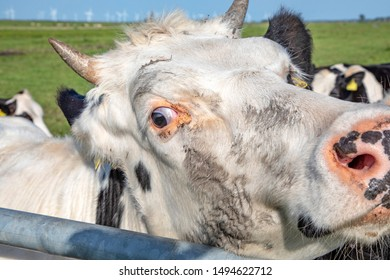 Close up of head white cow with horns, turning with squinting eye to look over fence.