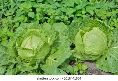 A close up of the heads of cabbage on garden-bed.