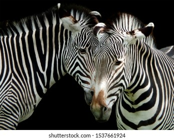 a close up of the heads of two zebras on a black background
