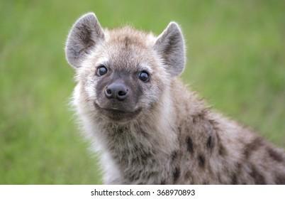 Close up Headshot of a baby hyena