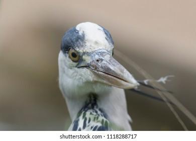 Close up headshot of a blue heron