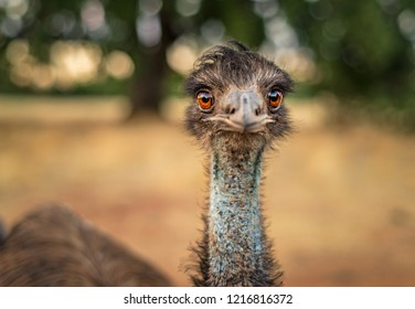 Close up headshot portrait of an emu looking at the camera. Giant bird with big orange eyes and a blue neck, isolated against blurry natural background at sunset